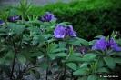 Rhodedendron catawbiense boursault_4