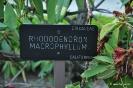 Rhododendron Macrophyllum_1