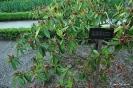 Rhododendron Macrophyllum_2