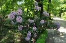 Rhododendron x clivianum_10
