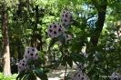 Rhododendron x clivianum_11