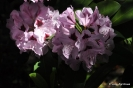 Rhododendron x clivianum_13