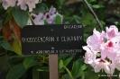 Rhododendron x clivianum_1