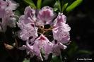 Rhododendron x clivianum_2