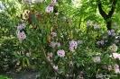 Rhododendron x clivianum_4