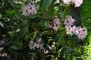 Rhododendron x clivianum_5