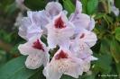 Rhododendron x clivianum_6