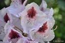 Rhododendron x clivianum_7