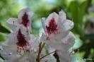 Rhododendron x clivianum_8