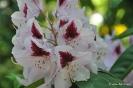 Rhododendron x clivianum_9