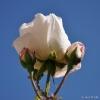 Rosa y Rosales en jardines
