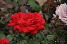 Rosales para trasplantar