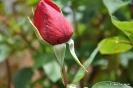 Rosas y rosales_2