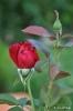 Rosas y rosales_3