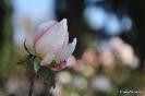 Rosas y rosales_6