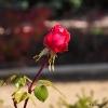 Rosas y rosales_8