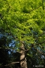 Taxodium Distichum_2