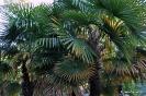 Trachycarpus Fortunei_10