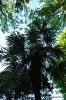 Trachycarpus Fortunei_4