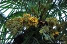 Trachycarpus Fortunei_5