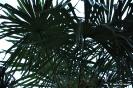 Trachycarpus Fortunei_6