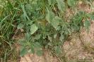 Amaranthus retroflexus - Bledo