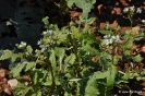 Rabaniza blanca - Diplotaxis erucoides rabaniza blanca