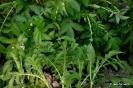 Agrimonia eupatoria - Hierba de San Guillermo