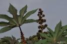 Ricino en Botánico de CLM