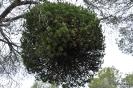 Candidatus Phytoplasma pini, Escoba de brujas