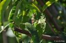 Lepra o Abolladura en Frutales de Hueso