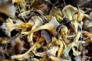 Angula de Monte - Trompeta amarilla