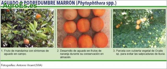Aguado Phytophthora