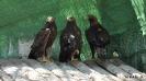 Águila Real Aquila Chrysaetos