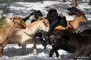 Cabras en la nieve_5