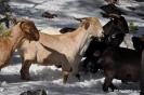 Cabras en la nieve_6