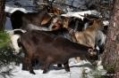 Cabras en la nieve_8