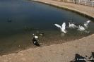Patos, Ocas y Pavos