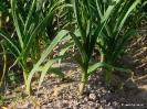 Ajos cultivos - Campos