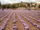 Cultivo de Azafrán