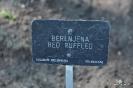 Berenjena Red Rufflet_7