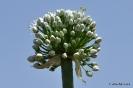 Cebollas con flor_9