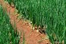 Momentos de desarrollo del cultivo de Cebollas