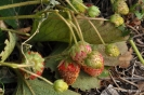 Fresas en Botánico de AB