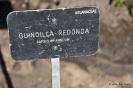 Guindilla Redonda