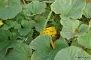 Cultivo de Melones