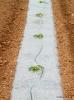 Momentos de desarrollo del cultivo de Melón acolchado