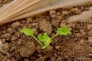 Melón semiforzado - Estados de crecimiento
