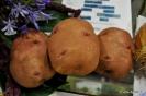 Patatas recolectadas