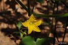 Flores de Pepino